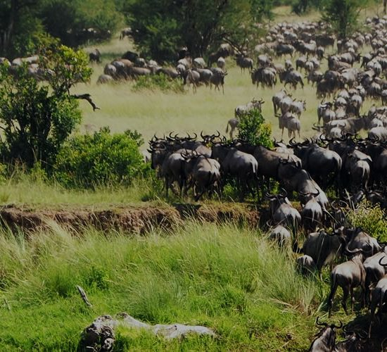 Serengeti Wildebeests Migration is a display of natural wonders with over two million wildebeests, zebras, and antelope traveling over 450 miles across