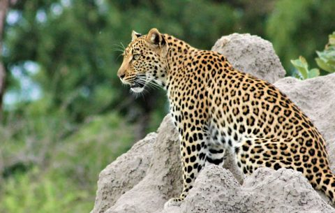 15 Days Classic Uganda Wildlife Tour & Primate Tour will take you to the most famous tourist destinations in Uganda; giving you a chance to view the Big Five animals in Uganda's savannah national parks, the water falls and different grasslands in Uganda
