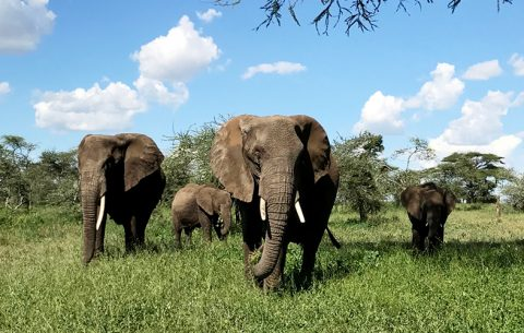 3 Days Masai Mara & Serengeti Wildlife Viewing Experience takes you to Masai Mara national park one of the best destinations in Kenya for game viewing or wildlife spotting gives an experience of the wildebeest migration