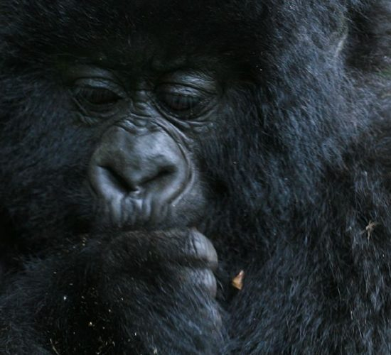 5 Days Budget Gorilla Trekking Tour and safari exposes you to a unique Gorilla Tracking experience in Bwindi Impenetrable National park. The Park is best known for its superb gorilla trekking, and it is also a home to elephants, chimpanzees, monkeys