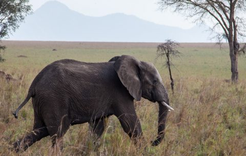 5 Days Safari takes you to Kidepo Valley National Park lies in the rugged, semi-arid valleys between Uganda's borders with Sudan and Kenya, some 700km from Kampala. Gazetted as a national park in 1962