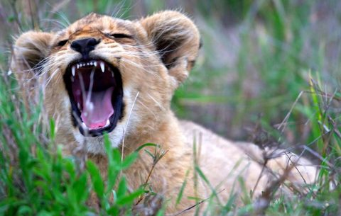 5 Days Wildlife Safari will take you to Queen Elizabeth National park the understandably Uganda's most popular tourist destination. Our 5 Days Queen Elizabeth Wildlife Safari will offer you the best tranquil experience