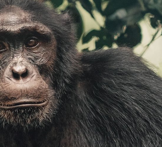 5 Days Chimpanzee trekking and habituation experience,This Tour exposes you to the 'Primate Haven of Uganda' – Kibale National Park. Kibale National Park contains one of the loveliest and most varied tracts of tropical forest in Uganda