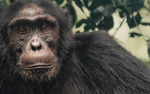 5 days chimpanzee trekking safari & cultural experience will show you that, Uganda is not only rich in nature and wildlife, but also has an undiscovered, fascinating cultural heritage. Four major kingdoms and well-established chiefdoms
