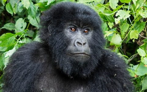 6 Days Gorilla Trekking and Batwa Cultural Experience is a special tour accredited in support of the local communities and people around the most favored and highly endangered Gorillas