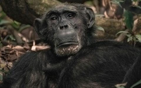7 Days Chimpanzee trekking Tour and Wildlife Safari takes to Kibale Forest national park known to have the largest number of Chimpanzees and other Primates in Uganda. With over ten years of tracking and Chimp Habituation & trekking