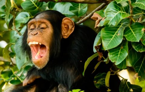 9 Days Special Primate Safari Wildlife tour allows you do gorillas, chimpanzees and see the wilderness much more! This unique itinerary introduces you to chimpanzee, mighty mountain gorillas, monkeys