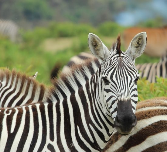 1 day adventurous wildlife tour safari will allow you to explore Lake Mburo national park 'The unforgettable whispers of the wild. One of the smallest savannah national park in Uganda. The park is found in the heart of Ankole near Mbarara southwestern region of Uganda
