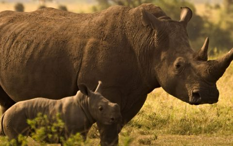 1 Day Ziwa rhino trekking Tour Safari takes you through the fantastic memories of the Ziwa rhino and wildlife ranch located in the Nakasongola district is the proud home of the only wild rhinos in Uganda. Presently the sanctuary is a home to twenty-four (24) southern white rhinos