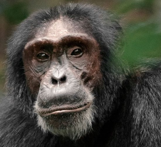 6 Days Primate tour Volcanoes & Nyungwe forest National Park takes you to the most preserved forest in Africa. Some say it is the most important site for biodiversity in Rwanda