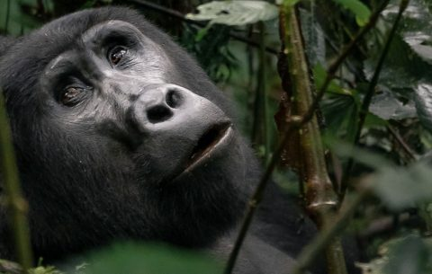 9 Days Rwanda Wildlife & Gorilla Trekking With Beach Holiday lets you explore the Land of a Thousand Hills awaits you with all of its scenic wonders, friendly people and home to the Mountain Gorillas