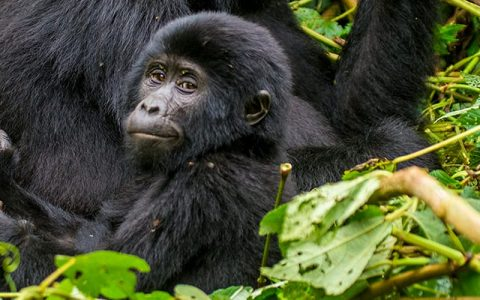 10 Days Best of Uganda Gorilla Safari and Wildlife Tour will involve primate experiences such as meeting with mountain gorillas and chimpanzee trekking