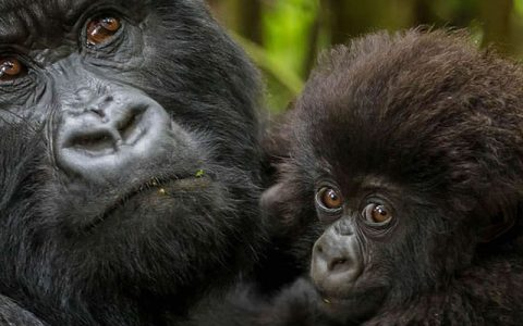 10 Days Gorilla trekking Safari in Congo and Uganda is an impressing safari package that will combine Congo and Uganda's most splendid national parks with unique cultural experiences and taste of world class services from some of the finest lodges in Uganda