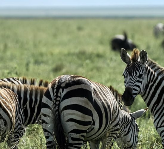 10 Days Kampala City Tour And Wildlife Safari will take you to Uganda a land of contrast, dappled with wildlife, serene undulating hills of tea plantations, lush but orderly, give way to tangled jungle and rainforest