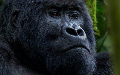 10 Days Uganda Gorilla Trekking Safari Tour takes you to view Uganda's primates, experience the chimpanzees in their natural hab of Kibale Forest National Park
