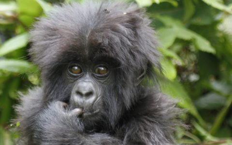 12 days Bwindi gorilla trekking safari tour And wildlife safari, will allow you to explore the best of the western region of Uganda. You will watch lions, plus some of the African big fives in Murchison falls and rhino trekking zziwa rhino sanctuary followed by a unique chimpanzee experience