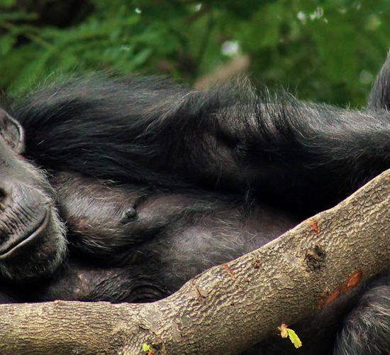 12 days uganda primate safari ,This tour will focus on;Kibale National Park,Queen Elizabeth National Park, Bwindi & Lake Mburo National Parks plus relaxation on Lake Bunyonyi.