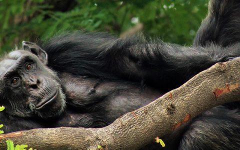 12 Days Uganda Primate Safari tour will focus on; Kibale National Park, Queen Elizabeth National Park, Bwindi & Lake Mburo National Parks plus relaxation on Lake Bunyonyi