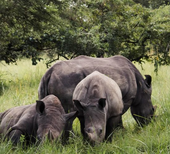 13 days City tour, primate, wildlife culture & white water rafting the best Uganda wildlife safari involving Game viewing tour in our savannah national parks, gorilla trekking in bwindi impenetrable national park,