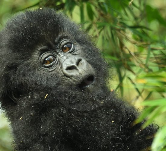 14 Days Uganda and Rwanda Exploration Safari will start After enjoying a very early breakfast, the driver/ guide will be ready to drive you to the headquarters of Parc Nationale des Volcans