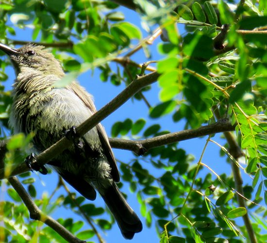 15 Days Uganda Birding and photography safari tour will take you through the major forests in Uganda renown for birding with well maintained trails. We start with Mabira forest with over 300 bird species