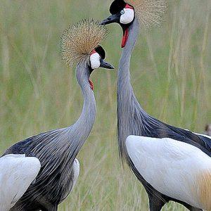 15 Days Uganda Birding and photography safari