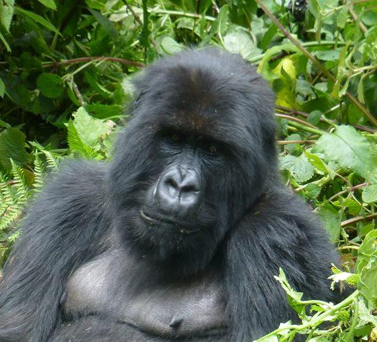 16 Days Uganda Rwanda Congo & Tanzania tour combined will start with enjoying your breakfast at your hotel in Entebbe