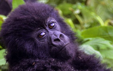 16 days Uganda and Rwanda gorilla safari will start a healthy breakfast, you will be transferred to Kibale Forest National Park, the capital world of primates. Primates such as chimpanzees, baboons, and monkeys. With en-route lunch meals