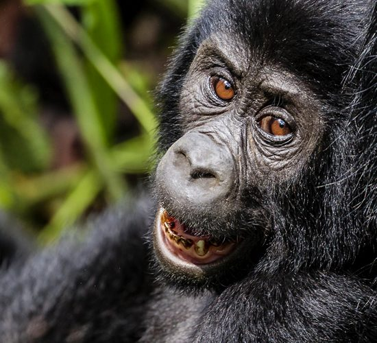 2 Days Gorilla Tracking Adventure Tour Rwanda, a guide will pick you up from your Kigali hotel, road transfer to Kinigi in Ruhengeri. On arrival visit Iby'wacu Village, you will have a chance to meet local people