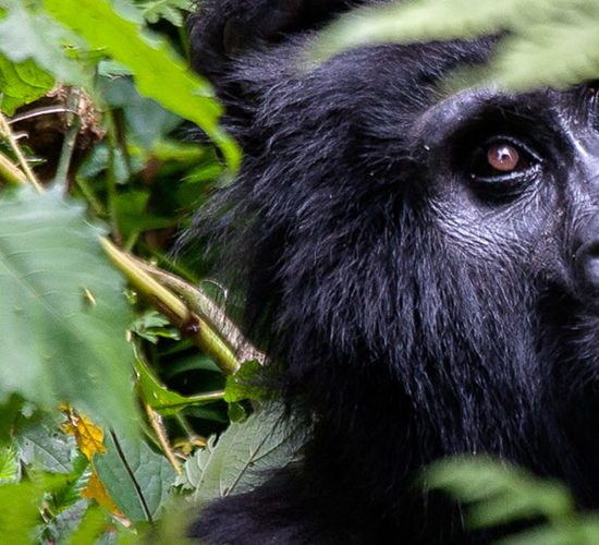 2 Days Gorilla Tracking Uganda Tour Safari will take you to trek mountain gorillasin Bwindi impenetrable forest National Park looking for the endangered mountain gorillas after magical gorilla trekking