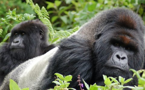 2 Days Gorilla Trekking Adventure in the Democratic Republic of Congo is another home to Mountain Gorillas in Africa. The country has both Lowland and Mountain Gorillas. GorillaTrekking toursin Congo