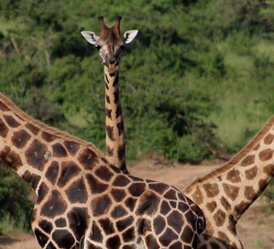 2 Days Lake Mburo National Park Safari Tour, The park covers about an area of 370 square kilometers, Lake Mburo National Park is the only Uganda National Park that contains an entire Lake and the nearest park