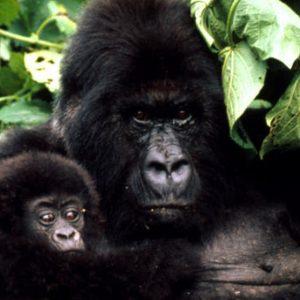 2 Days Gorilla Tracking Adventure Tour Rwanda