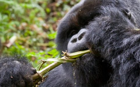3 Days Bwindi Impenetrable Gorilla trekking trip, the park covers an area of 321 square kilometers and is among the oldest forests
