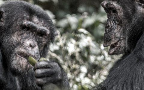3 Days Chimpanzee trekking safari in Kibale Uganda-Our 3 days Chimps tracking tour in Kibale Uganda Africa includes Chimpanzee habituation tour. This Chimps trek Uganda safari features trekking