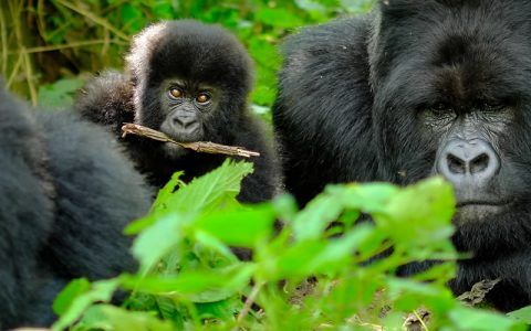 3 Days Congo Gorilla trekking Safari Upon your arrival in Kigali international Airport, You will be welcomed by our driver guide who will transfer you Bakavu in Congo