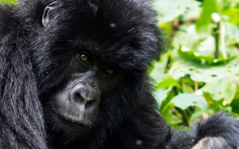 3 Days Congo Gorilla Trekking Tour Safari From Kigali exposes you to Congo's mountain gorilla in the virunga national park in Congo offering you with the best wildlife experience