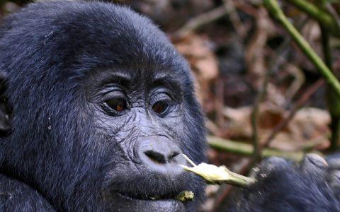 3 Days Gorilla Trekking Safari Tour Bwindi Forest National Park