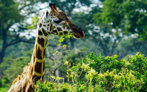 3 Days Murchison Falls Wildlife Safari Tour is an ideal express Wildlife Safari to Murchison Falls National Park. It is one of the best options for those travelers who only have few days but want to get African wildlife experience in Uganda the pearl of Africa