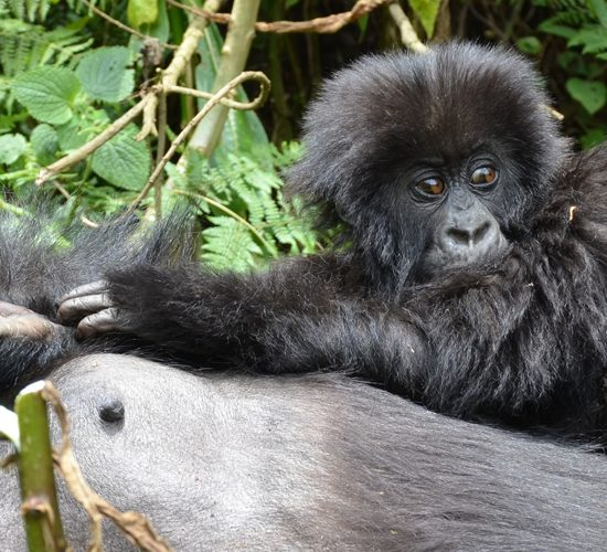 3 Days Magical Gorilla Tour & Culture, After your arrival,meet and greet your tour guide at Kigali International Airport and have your safari briefings
