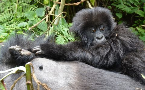 3 Days Rwanda Gorilla Trekking Tour & Culture will allow you to explore Musanze Volcanoes National Park, home to the famous endangered Mountain Gorillas, visit Ib'iwacu cultural center, experience the real authentic Rwandese cultural lifestyle
