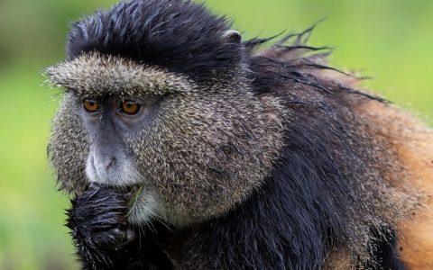 3 Days Rwanda Primate Safari And Tours will allow you to explore great Rwanda safari highlights of gorilla trekking tours and a glimpse on Rwanda Kigali city while on a city tour. The mountain gorillas live deep in the jungles