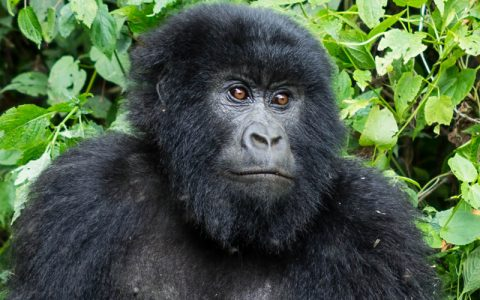3 Days Rwanda Primate Safari Holiday starts from Kigali International Airport and have your safari briefings. Later depart for Musanze in the North, home to the famous endangered Mountain Gorillas