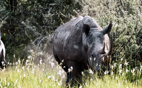 3 days Murchison Falls Wildlife Safari & Ziwa Rhino Tracking takes you to Uganda a land of contrast, dappled with wildlife, serene undulating hills of tea plantations, lush but orderly, give way to tangled jungle and rainforest with the musical accompaniment of chaotic
