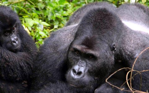 3 days Uganda gorilla trekking safari flying from Kigali is intended for those people who wish to trek mountain gorillas in Bwindi Impenetrable Forest National Park, Uganda but prefer to or are staying in Rwanda. It is also intended for those who would love to trek gorillas in Uganda but prefer covering shorter distances and spent few hours on the road