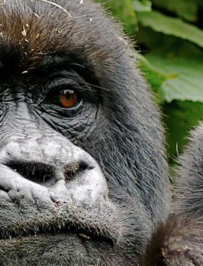 3 Days Bwindi Impenetrable Gorilla trip