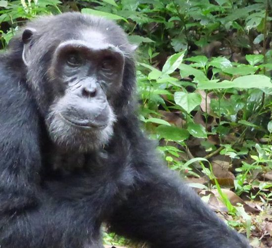3 Days Chimpanzee tracking in Ngambaisland, Ngamba Island is a Chimpanzee Sanctuary and Wildlife Conservation Trust (CSWCT) project that was established in 1997. It is a home for over 40 orphaned chimps to live out their lives, since a return to their natural habitat