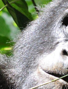 3 days chimpanzee tracking in Ngamba