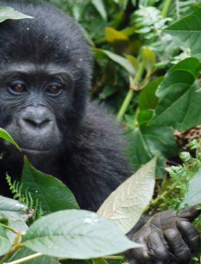 3 Days Chimpanzee trekking safari in Kibale Uganda