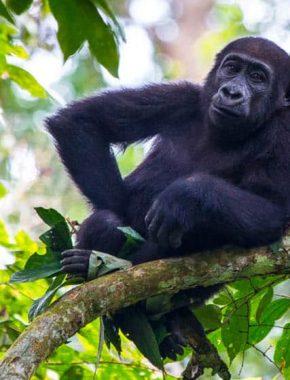 3 Days Congo Gorilla Safari